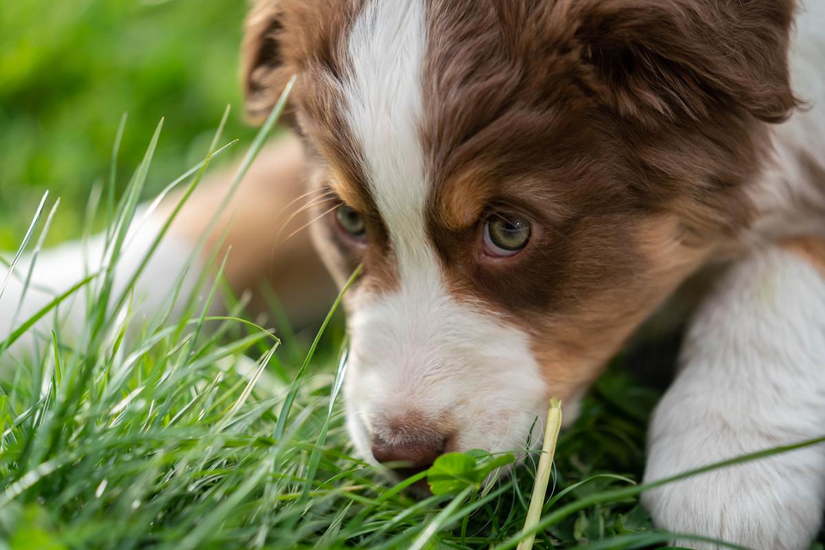 Choix de votre chien